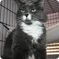 Domestic Longhair Cat for adoption in Fallbrook, California - Mitzi