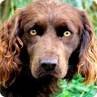 Adopt A Pet :: BOONE(WOW! PB BOYKIN SPANIEL!! - Wakefield, RI