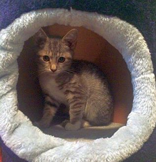 Domestic Shorthair Kitten for adoption in Huntsville, Alabama - Shadow