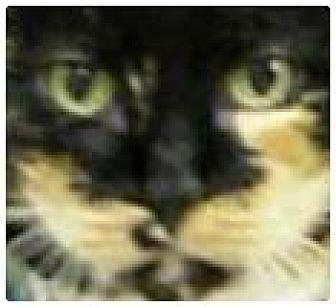 Domestic Mediumhair Cat for adoption in Alturas, California - Muffin