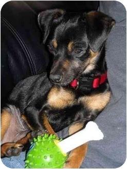 Chihuahua/Miniature Pinscher Mix Dog for adoption in Calgary, Alberta - Jimmy