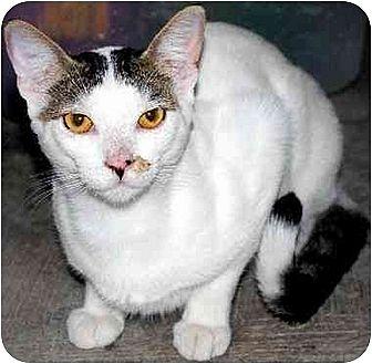 Domestic Shorthair Cat for adoption in Thibodaux, Louisiana - Tom FE2-7768