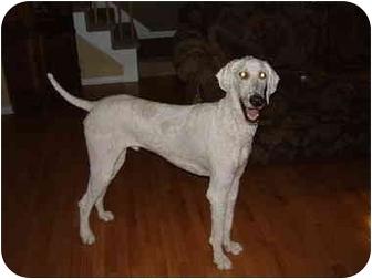 Poodle (Standard) Mix Dog for adoption in Rigaud, Quebec - Skylar