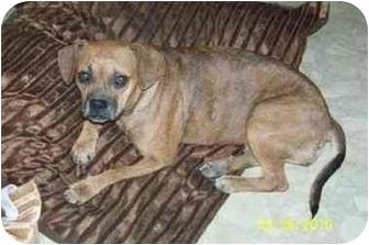 Pug/Beagle Mix Dog for adoption in Williston, Vermont - Gillyanne