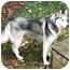 Photo 2 - Siberian Husky Mix Dog for adoption in Sheboygan, Wisconsin - Nanook