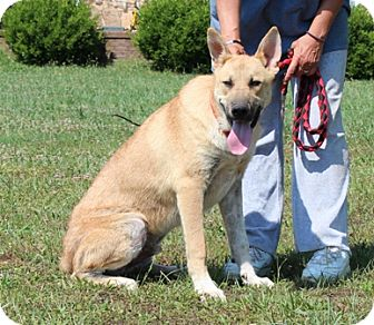 German Shepherd Dog Mix Dog for adoption in Hagerstown, Maryland - NicolasFee reduced to $200