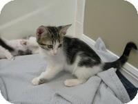 Domestic Shorthair Kitten for adoption in Tampa, Florida - Geri