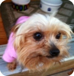 Yorkie, Yorkshire Terrier Mix Dog for adoption in North Benton, Ohio - Mindy teacup