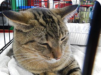 Domestic Shorthair Cat for adoption in Troy, Michigan - Aladdin