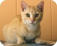 Domestic Shorthair Kitten for adoption in Atlanta, Georgia - Marmaduke