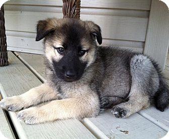 Siberian Husky Mix Puppy for adoption in New Oxford, Pennsylvania - Daisy