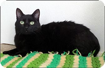 Domestic Shorthair Cat for adoption in Colville, Washington - Shadie