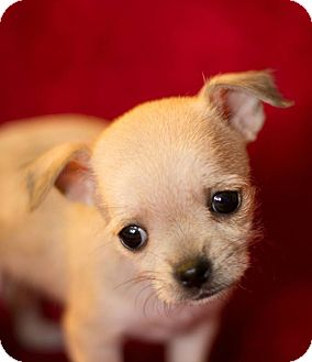 Chihuahua/Maltese Mix Puppy for adoption in West Richland, Washington - Tammy