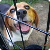 Adopt A Pet :: Westie - Indianapolis, IN