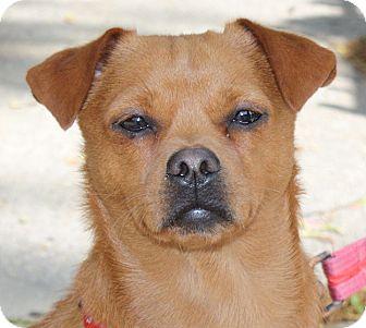 Chihuahua/Pug Mix Dog for adoption in NEW YORK, New York - Sammi Wammi