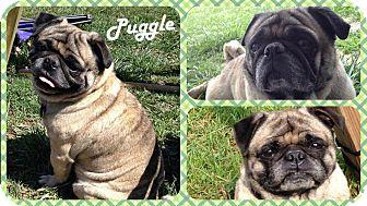 Pug Dog for adoption in DOVER, Ohio - Puggle