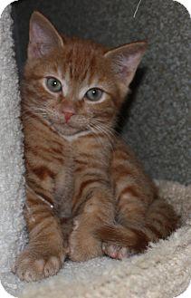 Domestic Shorthair Kitten for adoption in Virginia Beach, Virginia - Michael