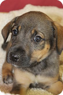 Shepherd (Unknown Type) Mix Puppy for adoption in Waldorf, Maryland - Clipse