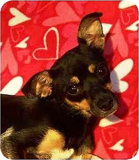 Chihuahua/Feist Mix Dog for adoption in Old Fort, North Carolina - Trina