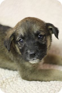 Shepherd (Unknown Type) Mix Puppy for adoption in Waldorf, Maryland - Pear