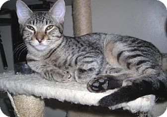 Domestic Shorthair Kitten for adoption in Oakland, California - Remy