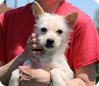 Yorkie, Yorkshire Terrier/Pekingese Mix Dog for adoption in Elyria, Ohio - Macadamia