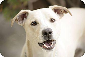 Labrador Retriever/Terrier (Unknown Type, Medium) Mix Dog for adoption in Burbank, California - Barnum