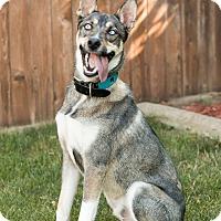 Adopt A Pet :: Bane - Seattle, WA