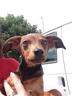 Dachshund Mix Dog for adoption in Newburgh, Indiana - Alfred