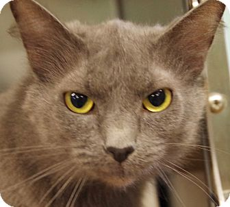 Domestic Mediumhair Cat for adoption in Daytona Beach, Florida - Rascal