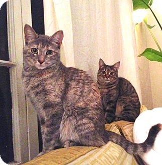 Domestic Shorthair Cat for adoption in Los Angeles, California - Lucy & Zoey- sweet sisters