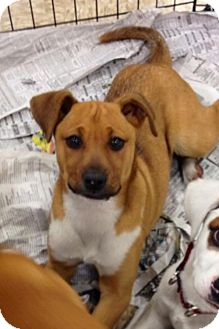 Black Mouth Cur/Boxer Mix Puppy for adoption in House Springs, Missouri - Patty