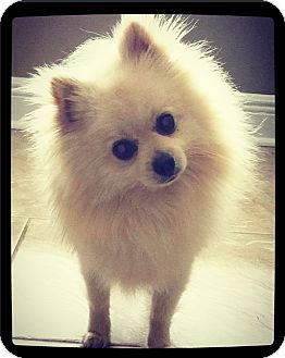 Pomeranian Dog for adoption in Grand Bay, Alabama - Boo (Boudreaux)