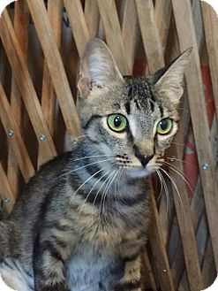 Domestic Shorthair Cat for adoption in Temecula, California - Lilly