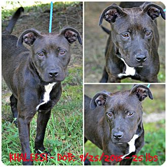 American Pit Bull Terrier/Labrador Retriever Mix Dog for adoption in Siler City, North Carolina - Khaleesi