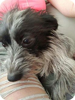 Terrier (Unknown Type, Small) Mix Dog for adoption in Pasadena, California - Oliver