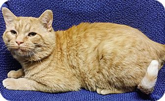 Domestic Shorthair Cat for adoption in Cannelton, Indiana - Jace