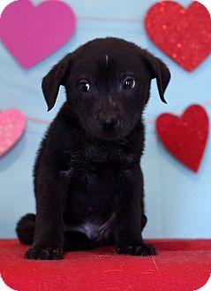 Labrador Retriever Mix Puppy for adoption in Waldorf, Maryland - Josh