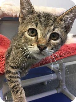 Domestic Shorthair Kitten for adoption in Hendersonville, North Carolina - Walter