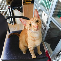 Domestic Shorthair Cat for adoption in Ridgway, Colorado - Spirit