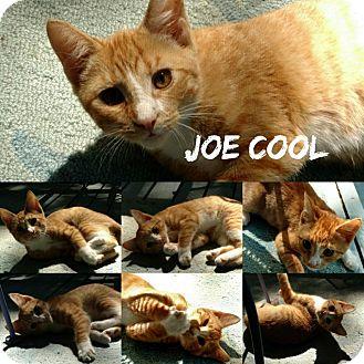 Domestic Shorthair Kitten for adoption in Fairfax, Virginia - Joe Cool