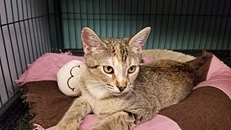 Domestic Shorthair Kitten for adoption in Tomball, Texas - Pearl