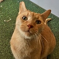 Adopt A Pet :: Lester - Highland, IN
