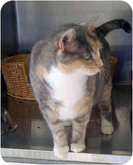 Domestic Shorthair Cat for adoption in San Clemente, California - MERRIE = Sweet & Playful