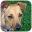 Photo 1 - Jack Russell Terrier/Miniature Pinscher Mix Dog for adoption in Kokomo, Indiana - Penne