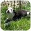Photo 2 - Shepherd (Unknown Type)/Dalmatian Mix Puppy for adoption in Broomfield, Colorado - Tatum