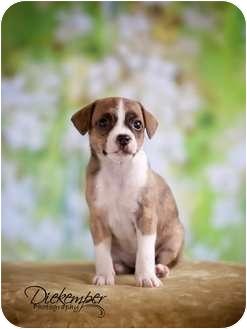 Rat Terrier Mix Puppy for adoption in Vandalia, Illinois - Brynn
