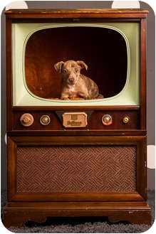 Catahoula Leopard Dog/Pit Bull Terrier Mix Puppy for adoption in Portland, Oregon - Vosem