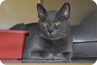 Domestic Shorthair Cat for adoption in Elyria, Ohio - Mamma MIa