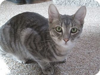 Domestic Shorthair Cat for adoption in Richland, Michigan - Savannah